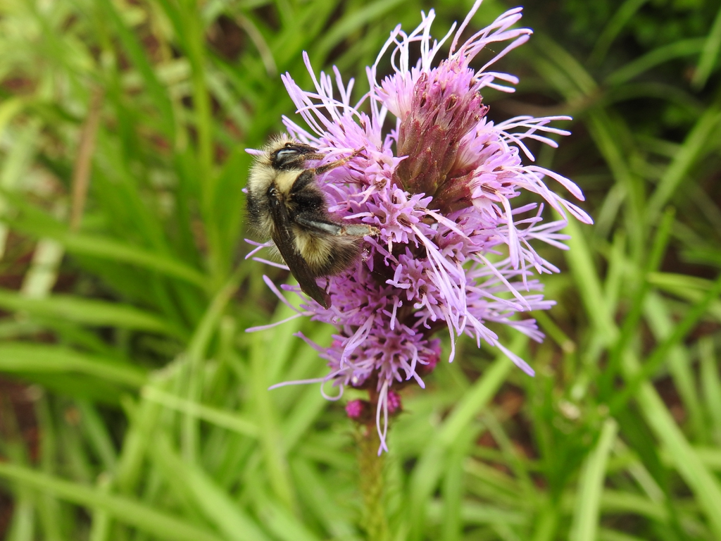 Bumble bee sipping nectar from the flowers