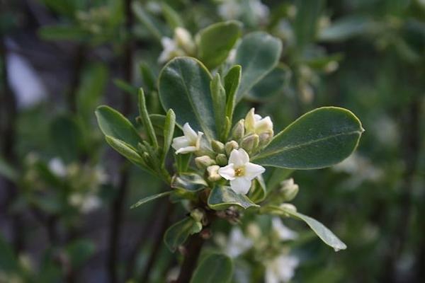Daphne caucasica foliage