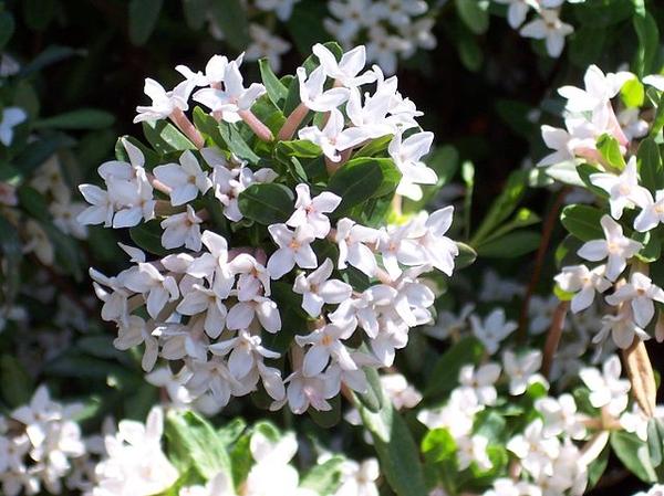 Daphne x burkwoodii flowers