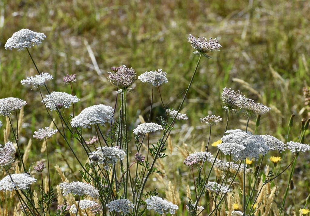 Flowers in a Field - June 1,  Warren Co, NC