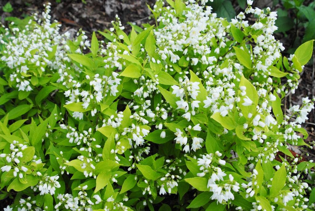 Deutzia gracilis 'Chardonnay Pearls' Leaves and Flower