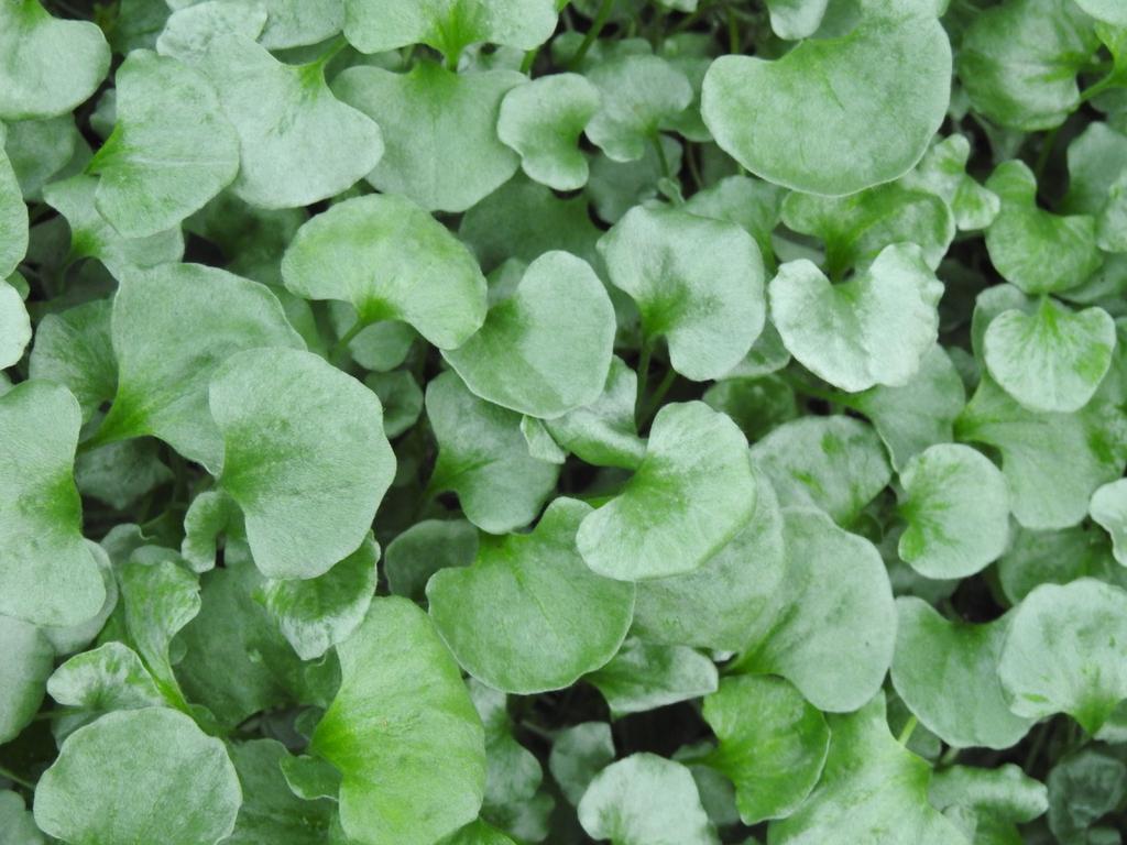 Dichondra argentea 'Silver Falls'  leaves