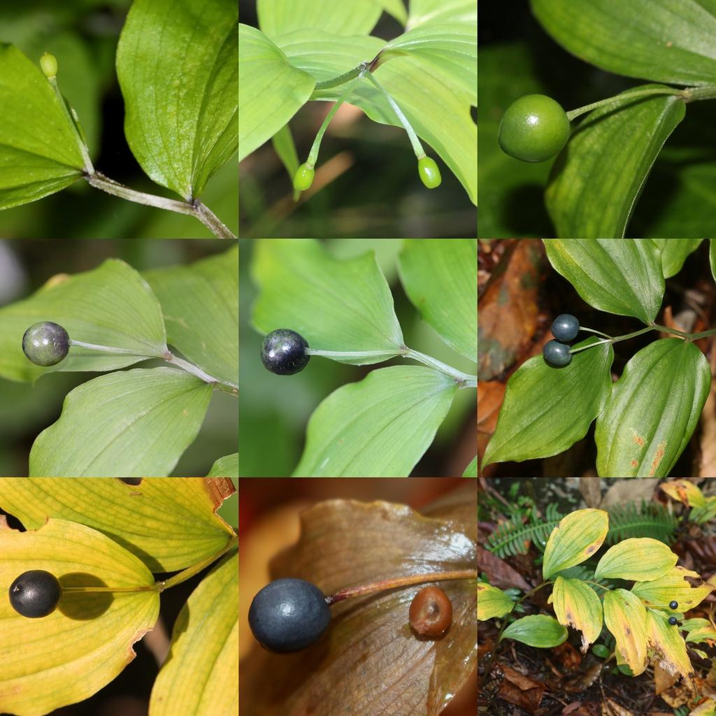 Disporum smilacinum leaves