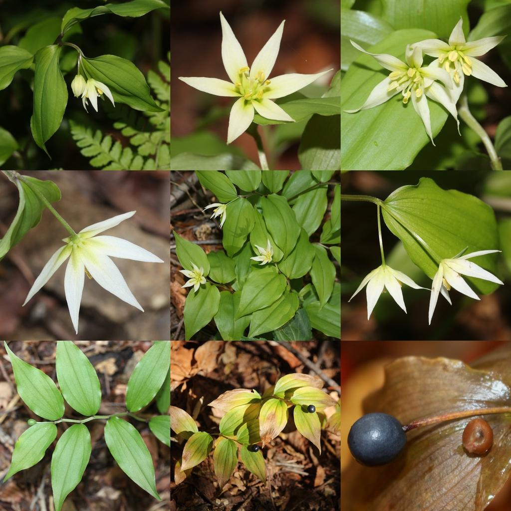Disporum smilacinum leaves and flowers