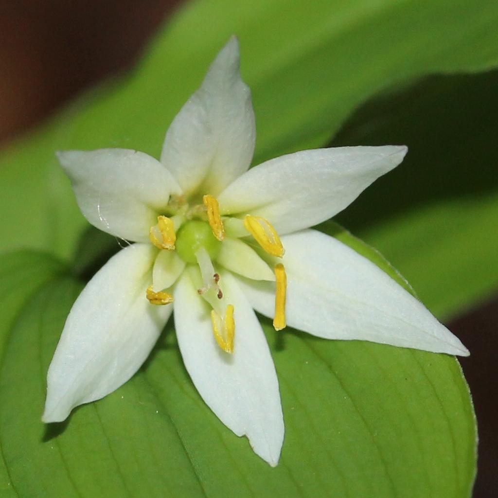 Disporum smilacinum Flower and leaves