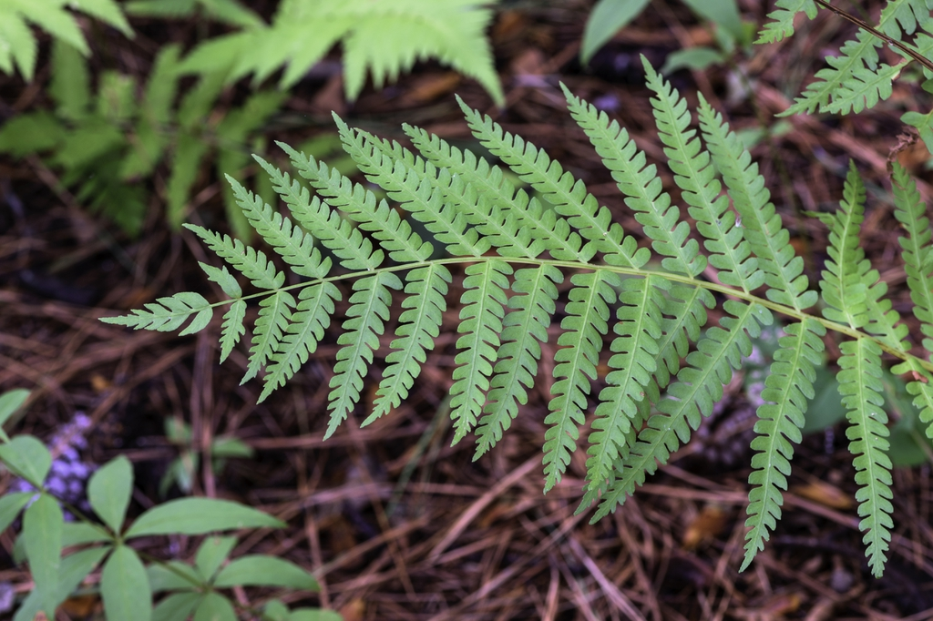 Dryopteris celsa