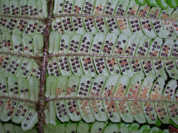 Spores on back of leaf