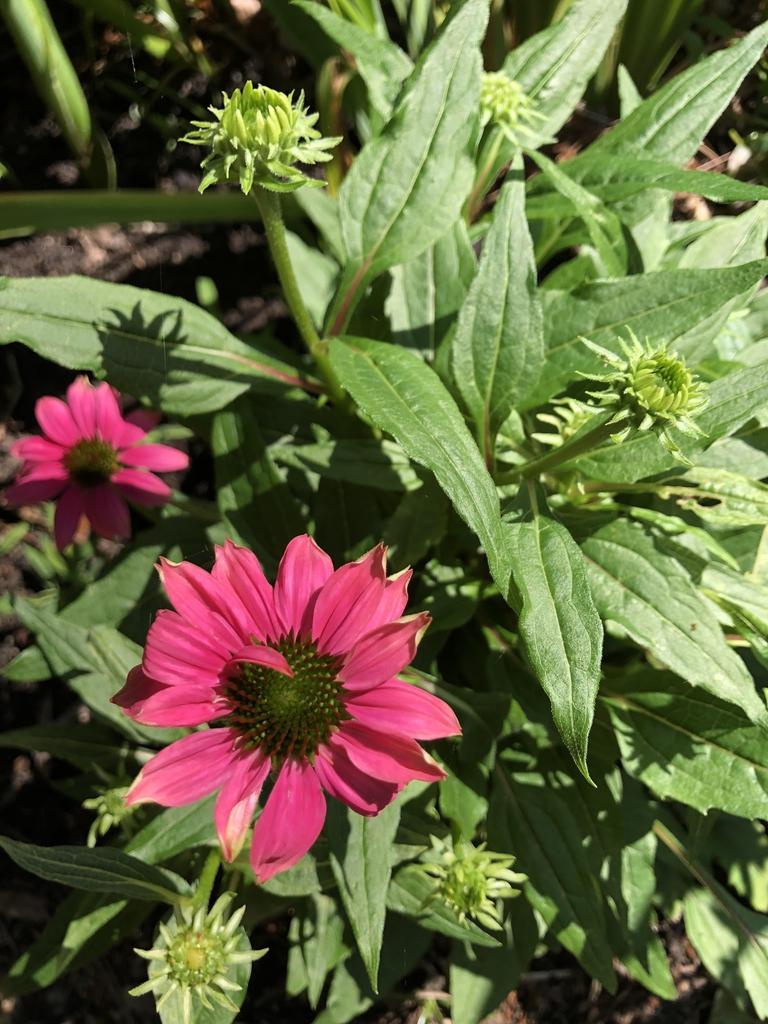 Echinacea purpurea 'PAS702917'