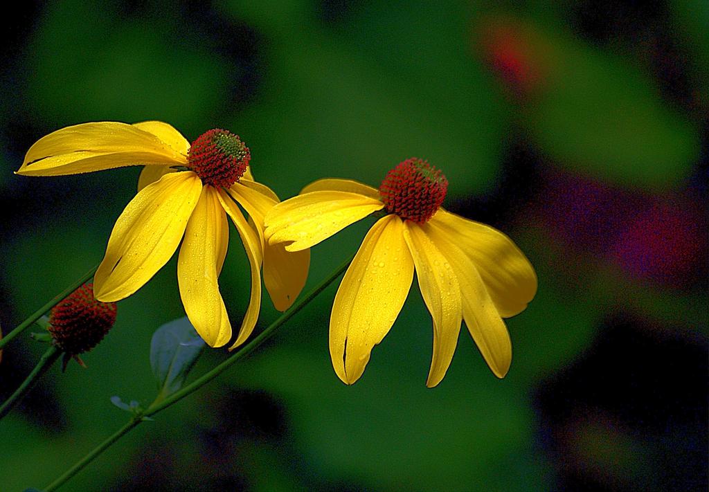 Echinacea purpurea 'Mellow Yellow'