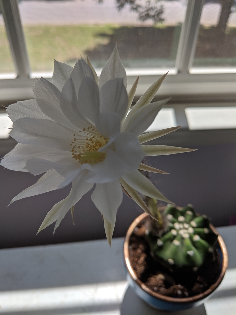 Echinopsis ancistrophora 'Dominos'