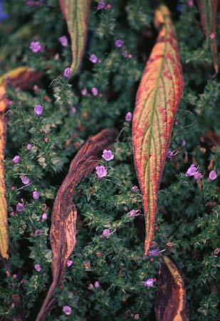 Echium spp.