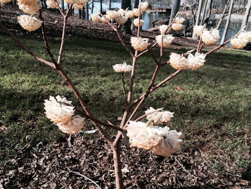 Edgeworthia chrysantha 'Snow Cream', winter