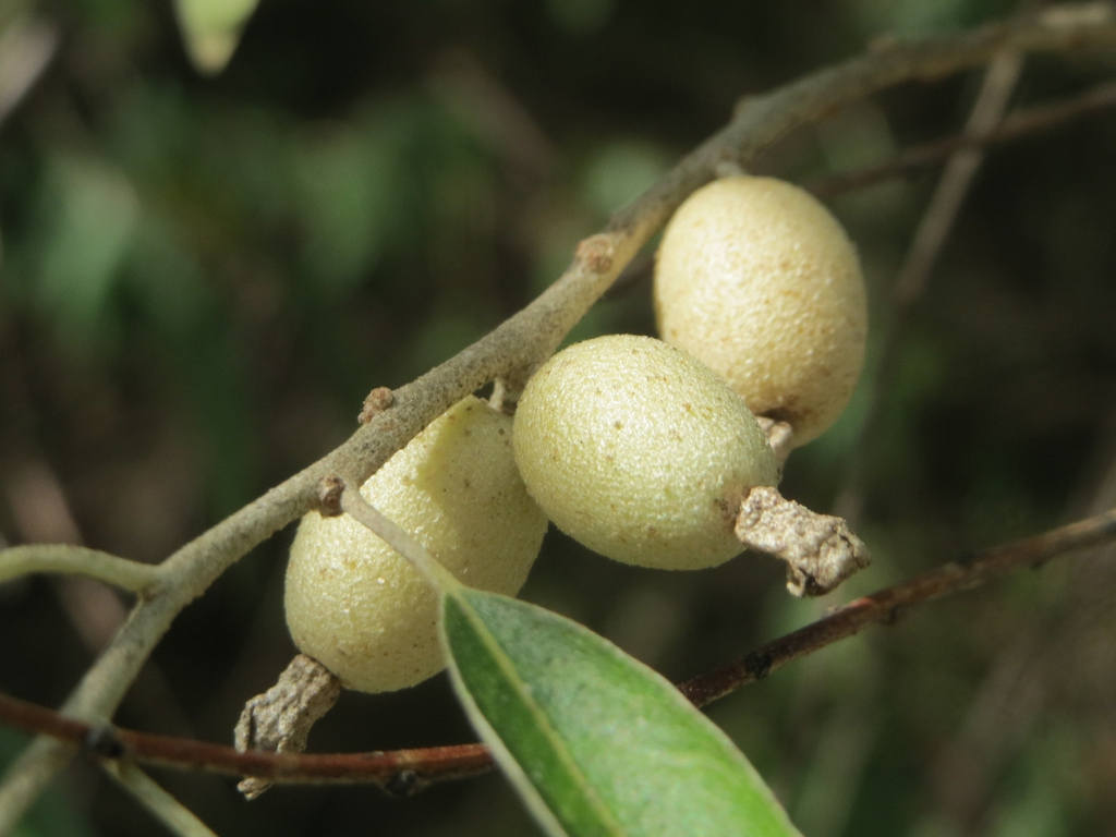 Immature fruits.