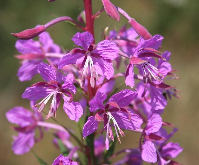 Epilobium angustifolium flowers