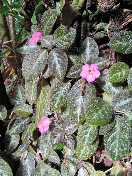 Episcia cupreata in a tropical landscape