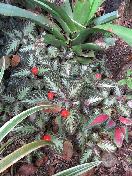 Episcia cupreata in a tropical landscape