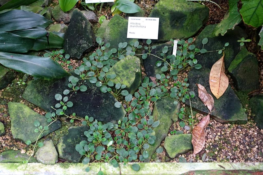 Alsobia Dianthflora
