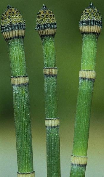 Equisetum praealtum