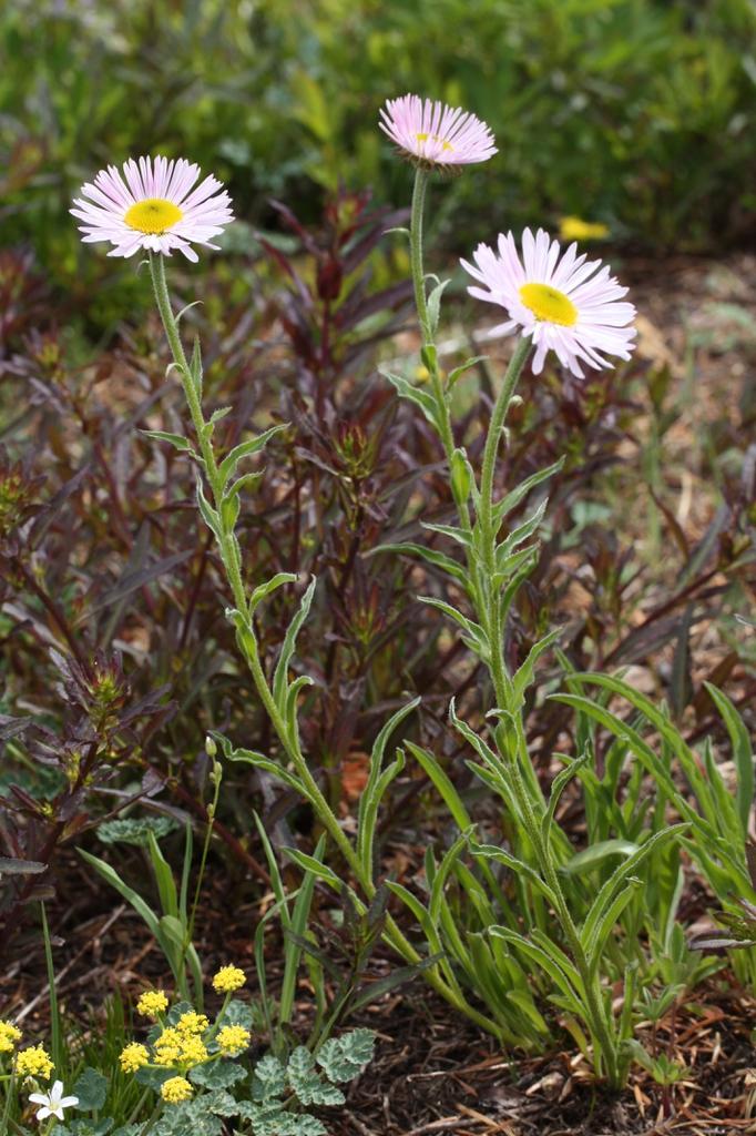Erigeron peregrinus subsp. callianthemus