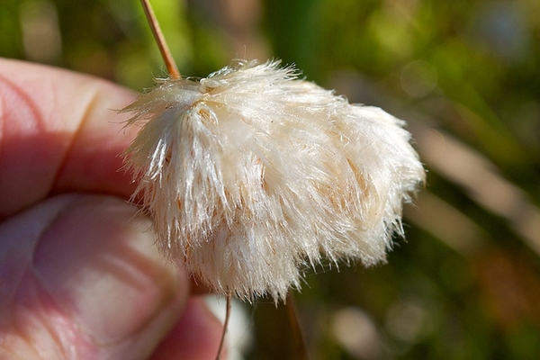 Eriophorum virginicum