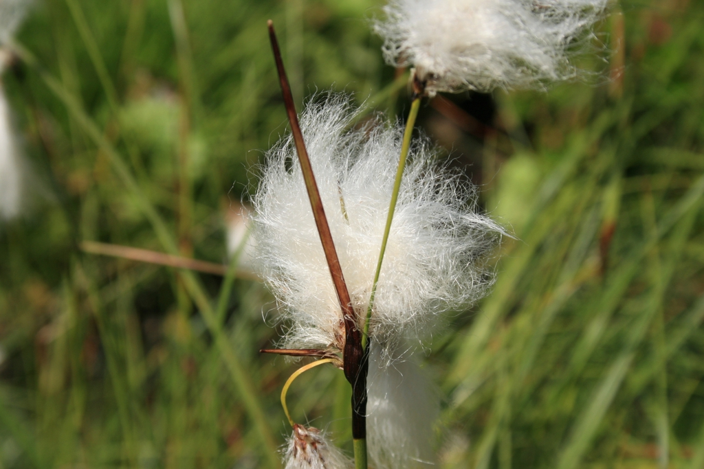 Eriophorum latifolia wool