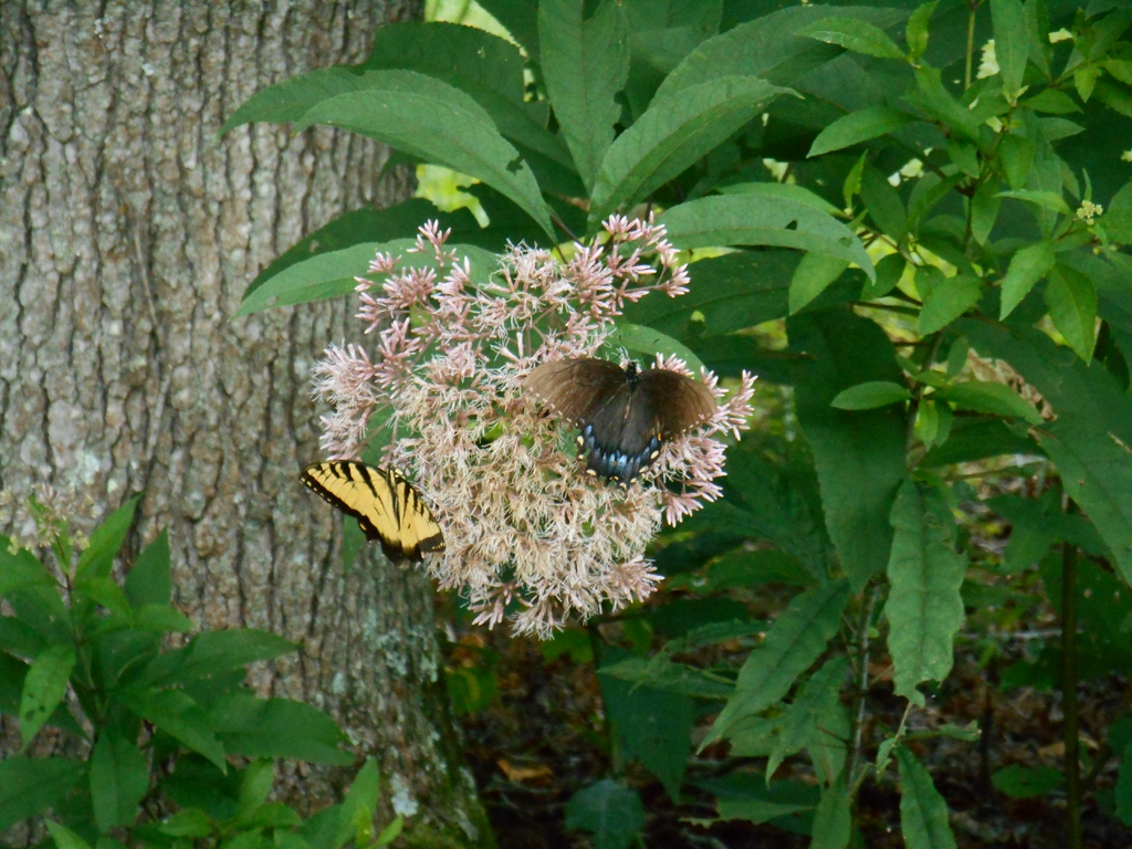 bloom with butterflies, late summer, McDowell County, NC