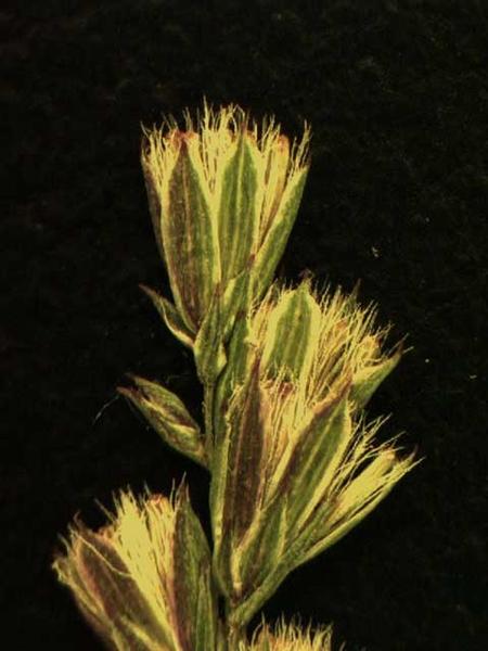 Eupatorium capillifolium