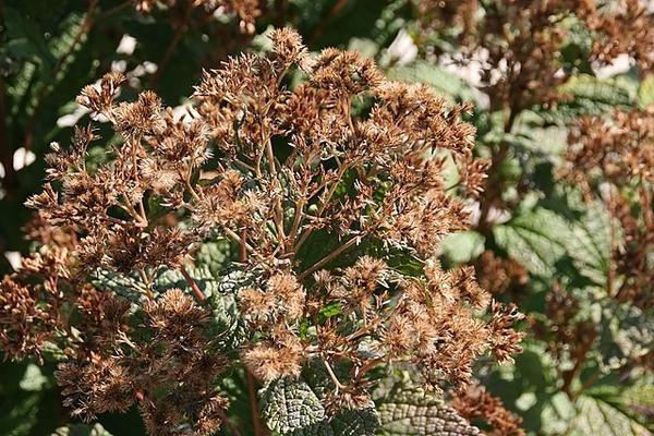 Eutrochium dubium
