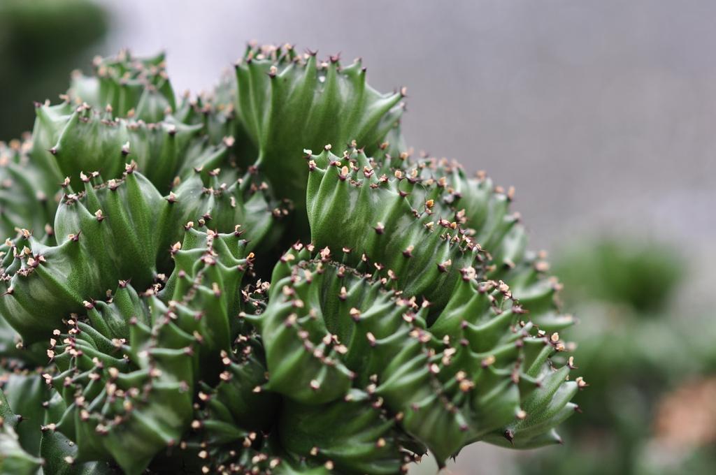 Euphorbia Lactae