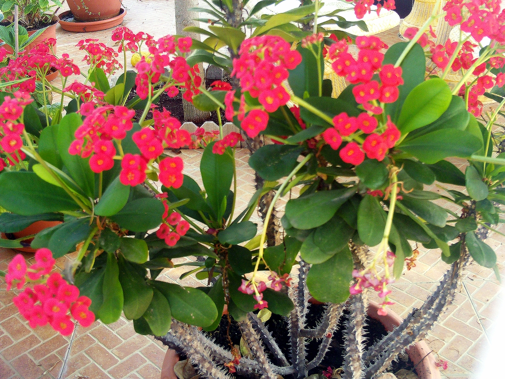 Euphorbia Milii Christ Plant Christ Thorn Crown Of Thorns