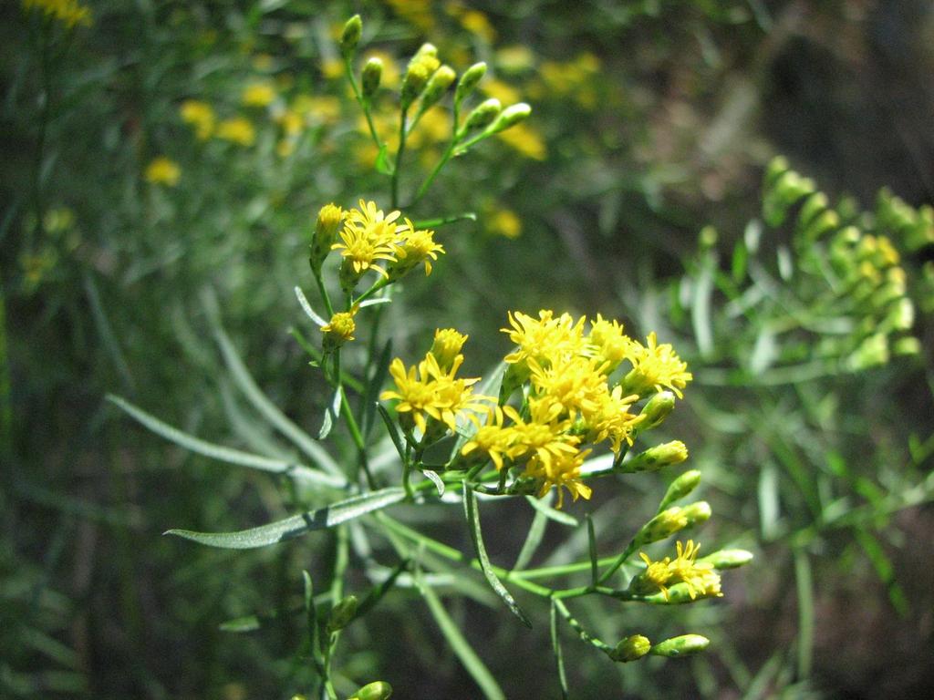 Euthamia caroliniana flowers and leaves