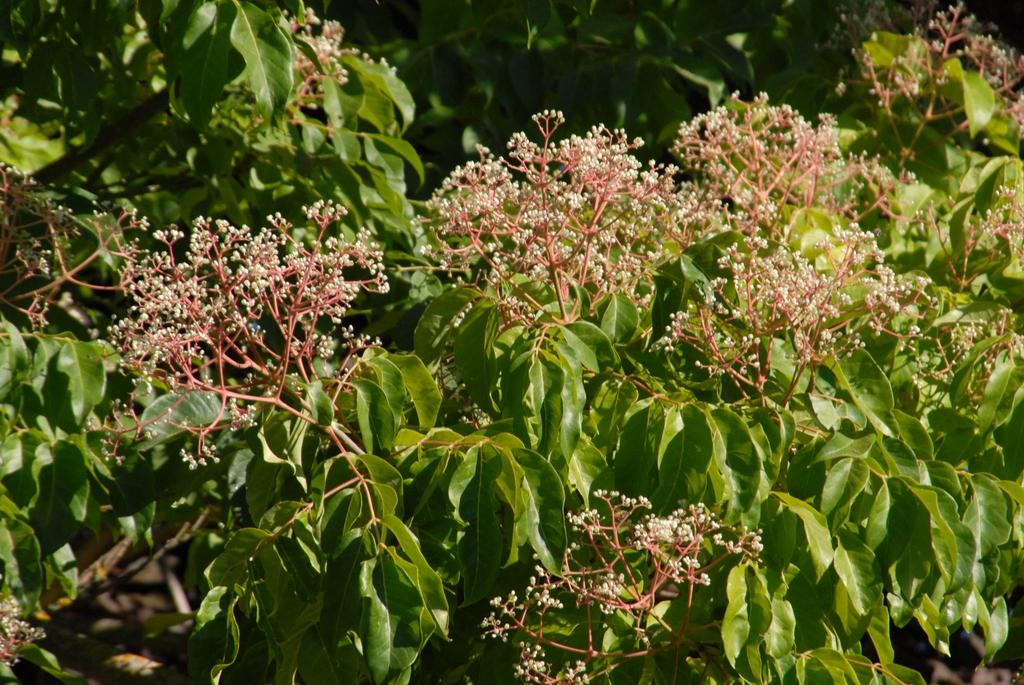 Evodia danielli Leaves and Flower