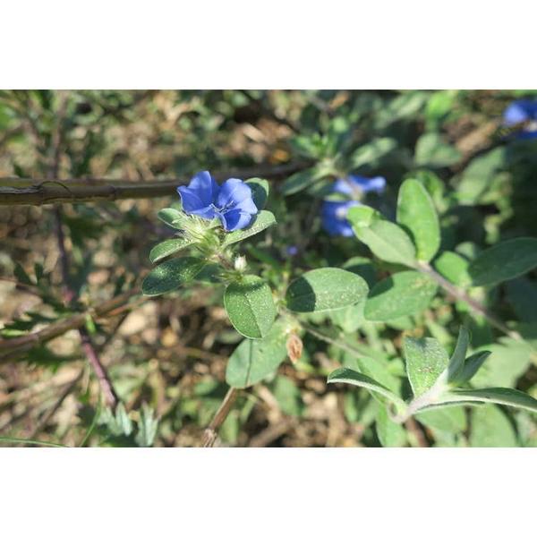 Evolvulus glomeratus 'Blue Daze'