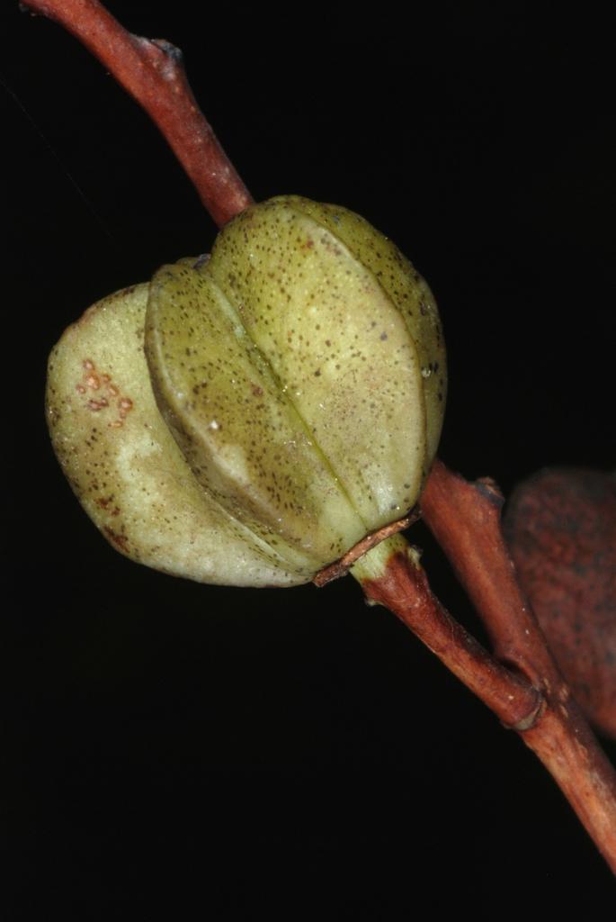 Fruit capsule (Moore County, NC)-Early Fall