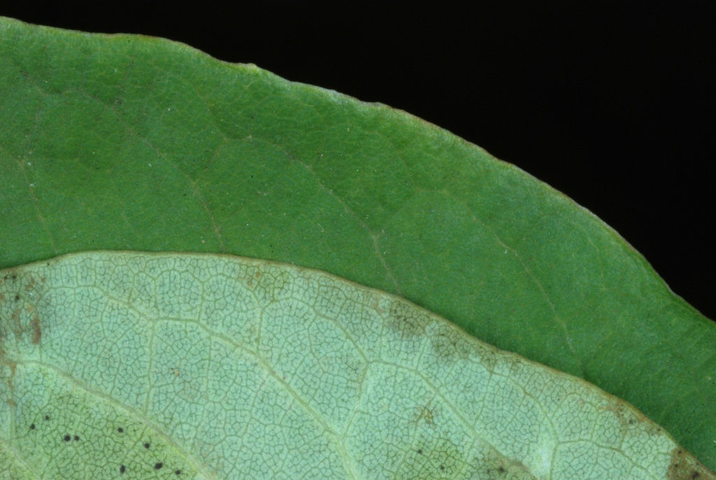Front and back of leaf (Moore County, NC)-Early Fall