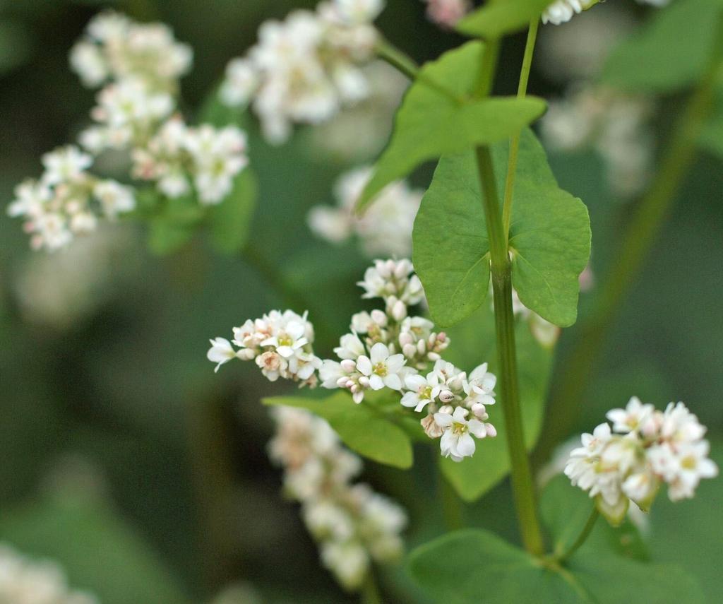 Fagopyrum esculentum- Flowers
