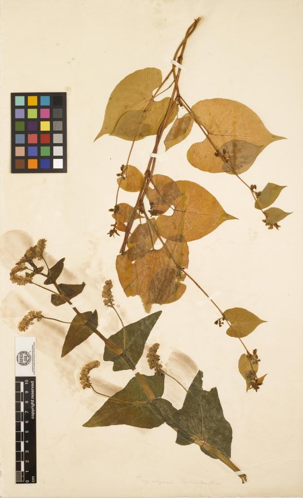 Fagopyrum esculentum-Herbarium Sheet