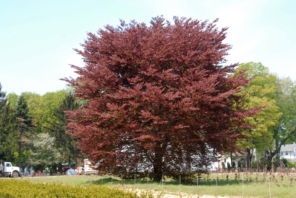 Fagus sylvatica 'Roseomarginata' Tree