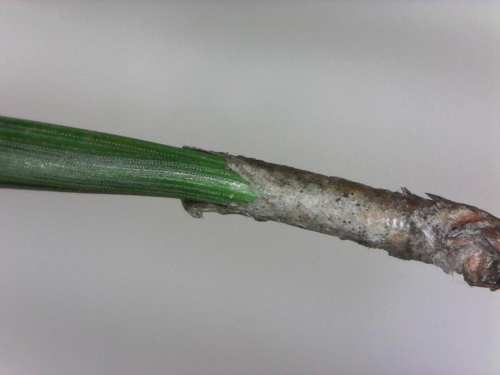 Fascicle sheath (Pinus taeda)