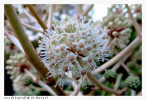 Fatsia japonica bloom