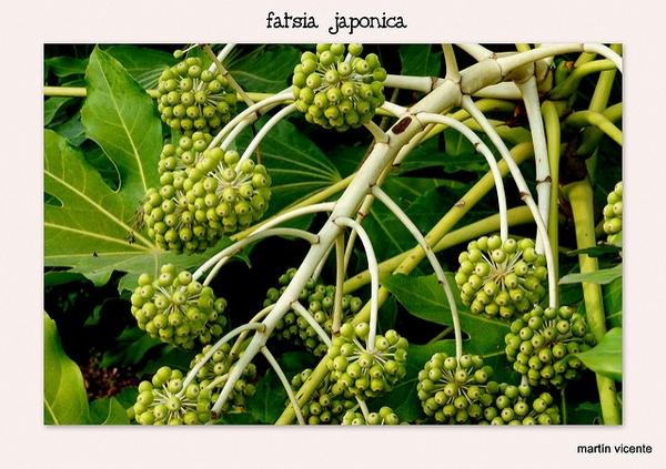 Fatsia japonica umbels