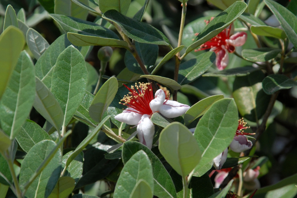 Feijoa sellowiana Flowers and Leaves