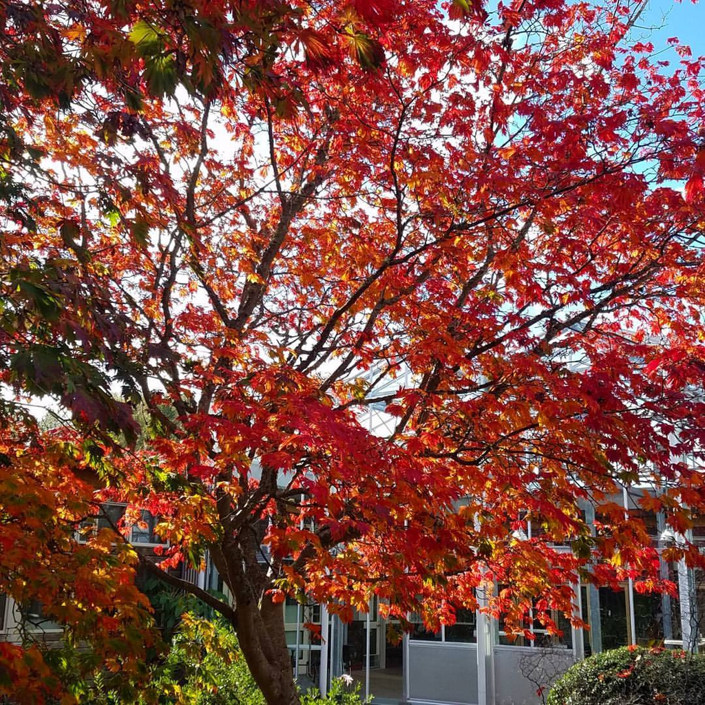 Fernleaf Full Moon Maple Acer japonicum 'Aconitifolium'