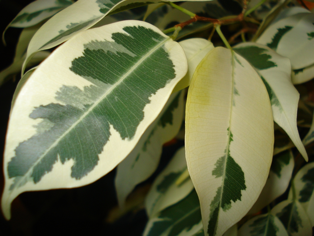 Varigated Leaves