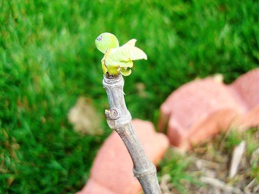 Ficus carica 'Celeste'