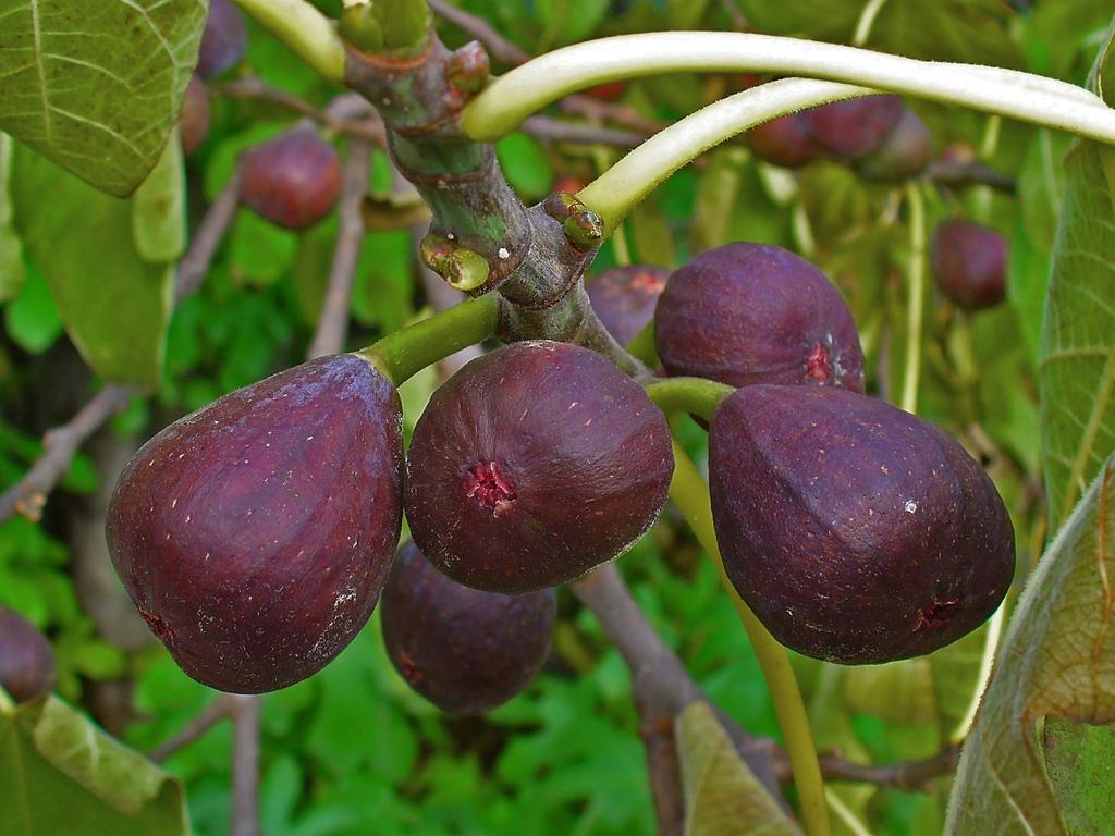Ficus carica fruit