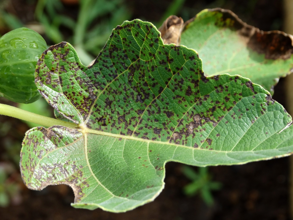 Ficus carica's leaf with rust from Cerotelium fici