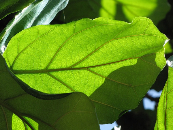 Ficus lyrata leaf veination