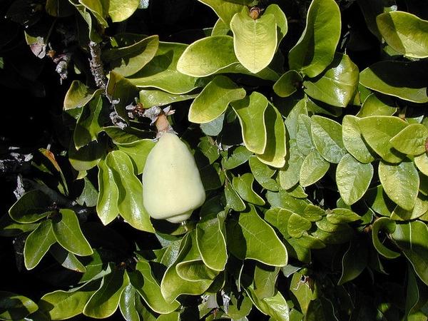Ficus pumilafruit