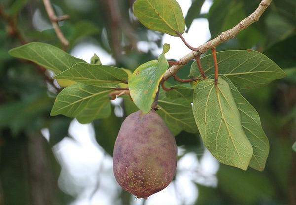 Ficus pumila ripe fruit